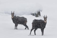 Riposiamo un attimo... (In punta di piedi...di Troise Carmine - Washi) Tags: troisecarminewashi inpuntadipiedi maviesauvage montagnes mountains summits nature natura park parconazionalegranparadiso italy italia camoscio alpinechamois snow winter canon