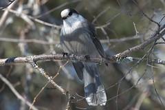 Canada Jay (Gray Jay) (Perisoreus canadensis) (stitchersue) Tags: jay canadajay grayjay perisoreuscanadensis winter perched algonquinpark ontario canada