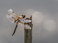 Four-Spotted Chaser (bredmañ) Tags: libellulaquadrimaculata fourspotted chaser dragonfly insect wild nature uk british wildlife naturallight handheld macro closeup olympus 300mmf4 em1mkii