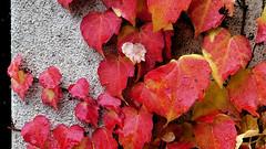 """Look autunnale (guardare in Large premere L) (Ferruccio Zanone) Tags: """"vite del canada"""" foglie rosse autunno """"pianta rampicante"""" look inverno"""