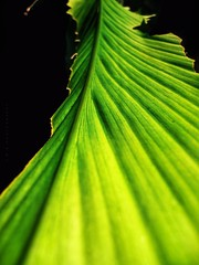 All the way down.. (Mona.esha) Tags: turmeric turmericleaf leaf green greenleaf plant turmericplant lines goingdown greeny nature natural remedy herb herbplant herbal ayurvedic healthy spice spices yellow photography macro macrophotography texture textures crisp edges beauty naturalbeauty