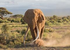 Bull Elephant - Loxidonta africana (rosebudl1959) Tags: 2019 kenya november tim masaimara bullelephant zebraplainsamboselicamp amboseli