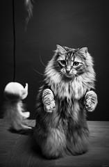 Le chat - marmotte* (LACPIXEL) Tags: chat cat gato pet animal mascota marmotte marmot woodchuck marmota jouer jugar play playing table mesa nikon nikonfr nikonfrance elinchrom flickr lacpixel littledoglaughednoiret