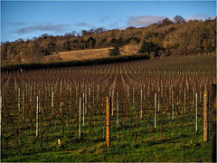 335.2 Vineyard (Dominic@Caterham) Tags: hill northdowns silentpool vineyard autumn vines trees sunlight sky shadows