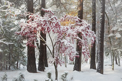 Snow Falling on a Japanese Maple (buffdawgus) Tags: autumn 50mm landscape nevadacity sierranevadafoothills cementhillroad myhouse topazstudio myfrontyard fall canon5dmarkiii california canon50mm18 lightroom6 cementhillhouse nevadacounty japanesemaple