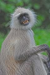 Langurs DSC_6796 (JKIESECKER) Tags: langur primates monkey bhopal india wildlife wildlifeviewing wildlifeportrait animals animalportrait animalbehavior peopleandnature portrait