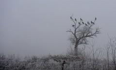 mystischer Morgen #2 (Rabea Lepke) Tags: nikon nebel wiese baum morgens krähen frühmorgens d7500 nikond7500 mystisch mystischermorgen winter dezember