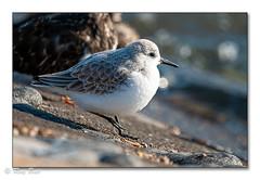 A Sanderling (Raymond Best) Tags: seabird sanderling artic migratory