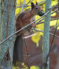Ekorre (Håkan Jylhä (Thanks for +1000000 views)) Tags: kotte höst autumn squirrel ekorre sweden sverige rx10iv sony jylhä håkan