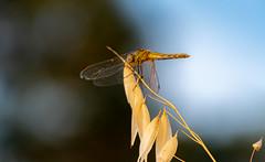 sans titre (balese13) Tags: 16300 d5500 istres nikonpassion tamronaf16300mmf3563dillvcpzdmacrob016 yourbestoftoday balese bleu blue dragonfly herbe jardin jaune libellule nikon nikonistes or tamron yellow 500v20f 1000v40f 1500v60f