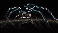 spider from mars (conall..) Tags: hairy hairylegs spider big male eratigena atrica eratigenaatrica giant house gianthousespider housespider nikon afs nikkor f18g lens 50mm prime primelens nikonafsnikkorf18g closeup raynox dcr250 macro county down tullynacree nw551041 annacloy northernireland manipulated manipulatedimage photoshop elements 15 messing abstract weird glowing edges sliderssunday