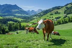 SF-_MG_3154 - Herd of cows on the pasture of les Ciernes, near Cerniat, Gruyère region - Switzerland (Valentin Vuichard) Tags: valentin vuichard valentinvuichard gruyère greyerz gruyérien gruyérienne fribourg freiburg freiburger fribourgeoises fribourgeois fri suisse schweiz switzerland svizzera préalpes préalpe voralp voralpen prealps alps alpen mountain mountains berg bergen montagne montagnes alpage alpestre paysage country landschaft landscape landwirtschaft patrimoine patrie canon eos 7d digital efs cmos agriculture landwirt agri agricultural rural decay rusted old abandonned abandonnée ruine ruines ruined détruits insalubre vaches vache val valdecharmey cerniat génisse génisses veau vellon vallée du javro