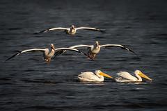 Pelicans landing at sunset (bodro) Tags: bif bolsachica bird birdinflight birdlanding birdphotography ecologicalreserve featherdetails lastraysofsun shallows sunintheeye sunset wetlands whitepelican