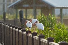 SouthPadreIsland_275-2 (allen ramlow) Tags: south padre island birding center nature park texas tx birds sony alpha