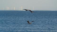 SouthPadreIsland_266 (allen ramlow) Tags: south padre island birding center nature park texas tx birds sony alpha