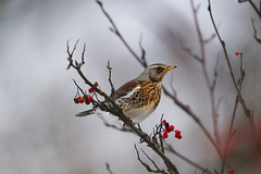 Fieldfare 田鸫 (Boxun Zhang) Tags: bird nature wildlife helsinki finland sonyalpha