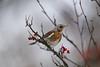 Fieldfare 田鸫 (Boxun Zhang) Tags: bird nature wildlife helsinki finland sonyalpha