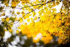 Autumn Colors (moaan) Tags: kobe hyogo japan maple mapleleaves japanesemaple color yellow tinted autumn fall autumnleaves fallfoliage bokeh bokehphotography dof leica leicamp type240 noctilux 50mm f10 leicanoctilux50mmf10 utata 2019