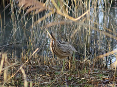 Bittern (Georgiegirl2015) Tags: bittern heron dellalackwildlifephotography winter2019 december2019 slimbridge gloucestershire reedbeds zeisshide birds nature wildlife wetland countryside reeds wwt secretive elusive booming camouflage freshwater swamps canon ef300mm 7dmkii