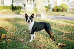 (alyssalew) Tags: 35mm konica kodakgold bostonterrier