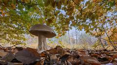 Autumn colors (rinus64) Tags: autumn nikon herfst fungi paddenstoel bos herfstkleuren d500