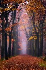 Foggy Forest (Ellen van den Doel) Tags: november forest color bos hazy bladeren trees mist path pad natuur fall leaves oranje road kleur weg bergenopzoom nature nederland najaar netherlands herfst orange bomen outdoor 2018 fog
