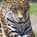 The jaguaress of the Olomouc zoo