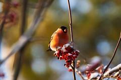 Eurasian bullfinch 红腹灰雀 (Boxun Zhang) Tags: bird nature wildlife helsinki finland sonyalpha