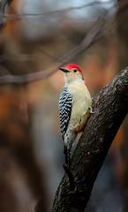 "A touch of ""Daring-do"" (Portraying Life, LLC) Tags: cropapsc dbg6 hddfa150450 k1mkii michigan pentax ricoh topazaiclear unitedstates bird closecrop handheld nativelighting backyard woodpecker common"