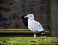European Herring Gull - IMG_7100 - Edited (406highlander) Tags: herringgull gull seagull bird avian animal wildlife aberdeen scotland canoneos6d sigma120400mmf4556apodgos canon 120400mmf4556dgapooshsm fullframe europeanherringgull grave gravestone graveyard stnicholascemetery saintnicholascemetery