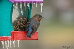 Icy (Melody Mellinger) Tags: ice cold winter storm bird wildlife animals blue bluebird rain nygsaex