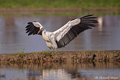 Cicogna _016 (Rolando CRINITI) Tags: cicogna uccelli uccello birds ornitologia avifauna racconigi natura