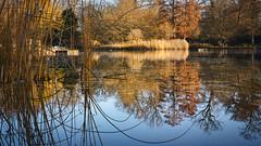 Rahmen aus Schilf (KaAuenwasser) Tags: schlossgartensee schlossgarten see garten park spiegelung spiegelbild schilf pflanzen baum bäume rahmen eingerahmt eingefasst wasser stimmung ruhe stille farbe farben form gespiegelt natur november 2019