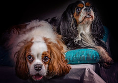 sweet couple (Gianni pepenera) Tags: dog cani photography cavalier king charles spaniel portrait canon