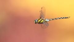 Libellule (Dakysto94) Tags: libellule dragonfly insecte insect animal nature macro proxi proxiphoto bokeh orange