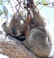 Downtime Down Under - Just Wild About Koalas on Raymond Island! (antonychammond) Tags: koala koalabear australia raymondisland gippslandlakes easternvictoria marsupial naturethroughthelens contactgroups thegalaxy