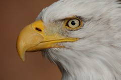 Eagle eye.... (D.Purkhart) Tags: adler eagle weiskopfseeadler porträt birdsofprey thisphotorocks flicr