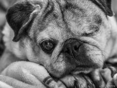 Pug Portrait (jiroseM43) Tags: olympus olympusem10markiii em10markiii dog pet pug m43 lumixg425f17