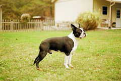 (alyssalew) Tags: bostonterrier 35mm konica kodakgold