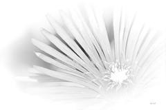 """Série """"Beauté Nature"""" VI (EmArt baudry) Tags: flower fleur focus nikon nature nikonmacrolens noiretblanc blackandwhite composition bw blanc white noir black light lumière emart emmanuellebaudry inexplore"""