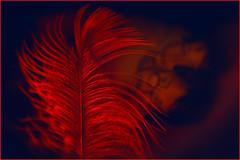 Red. And love me tender. (Gudzwi) Tags: hmm rot blauschwarz zweifarbig monochrom farbe feder federleicht leuchtend strahlend zart zärtlich linien papier weisrotangestrahlt kunstlicht künstlicheslicht led fahrradrückleuchte bild fotografie bildimbild früher sehrlangeher liebe zusammen zweisamkeit lieblingsfarbe makro closeup macromondays red blueblack twotone monochrome colour feather bright tender lines paper whiteredilluminated tungsten artificiallight bicycletaillight picture photography pictureinpicture alongtimeago love together togetherness favouritecolour macro nikonmicronikkorp13555mm