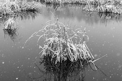 Reeds in the Snow (Duncan Rawlinson - Duncan.co) Tags: 1000islands 1000islandsontario 1000islandsontariocanada 1pjnfofdyrdwxfqogzqjbxutrdhjzvq3kc 2019 5dsr canada canon canoneos5dsr duncanrawlinson duncanrawlinsonphoto duncanrawlinsonphotography duncanco firstsnowoftheseason1000islandsontariocanada frost landscape ontario ontariocanada photobyduncanrawlinson reedsinthesnow shotwithcanoneos5dsr snow snowy thousandislands thousandislandsontariocanada weather wild winter background beautiful beauty blackandwhite bright cold countryside environment flora frozen grass httpsduncanco httpsduncancoreedsinthesnow ice light minimal natural nature outdoor plant reed reeds rural season snowing timeless tranquil water wet white