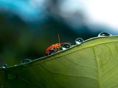 Drinking beetle ii (Lr Home) Tags: macromondays a6000 sel30m35 nature leaf water ladybug redbug waterdroplet