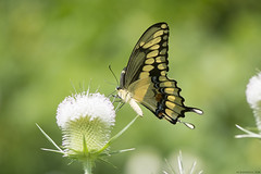 Butterfly 2019-177 (michaelramsdell1967) Tags: butterfly butterflies nature macro animal animals insect insects green yellow black bokeh beauty beautiful lovely pretty giant swallowtail upclose closeup meadow vivid vibrant detail delicate fragile wildlife bug bugs zen field