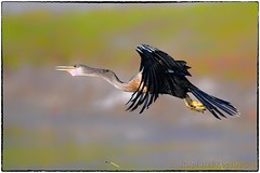 Anhinga, post launch (RKop) Tags: florida raphaelkopanphotography d500 600mmf4evr tampa nikon nature birds wildlife