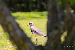 Bird (Andre Flor) Tags: wikiwaves queroquero vanellus ave bird brazil novo hamburgo rio grande sul gaucho