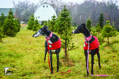 Oh Christmas Tree (houndstooth4) Tags: dogs greyhound flattery rose christmastree 4852 dogchal ddc 52weeksofdogs