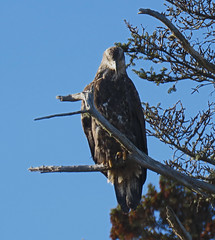 Watching me watching you (Hodgey) Tags: eagle immature baldeagle