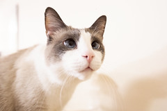 Odin, my favorite slightly cross eyed kitty. (zialogy) Tags: nikkor24mmf28 snowshoesiamese siamesecat canon6d