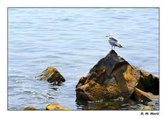 I hear your voice in the wind... (R. M. Marti) Tags: agua water lago lake gaviota seagull ave bird piedras stones naturaleza nature